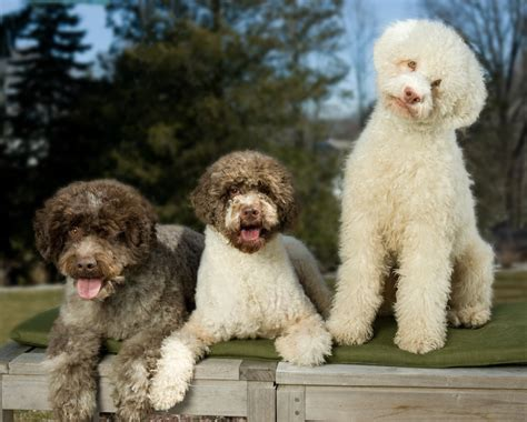 italian word for puppy lagotto romagnolo truffle digging dogs from italy are now bred at the blackberry