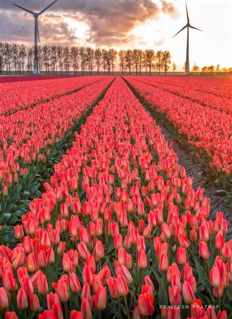 Ransel Tulip 3 In 1 noordoostpolder tulip fields netherlands