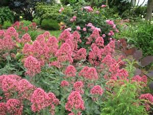 roses du jardin ch 234 neland val 233 riane quot centranthus ruber quot