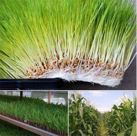 Hidroponik Jagung Pakan Ternak fodder jagung sebagai pakan ternak peternakankita