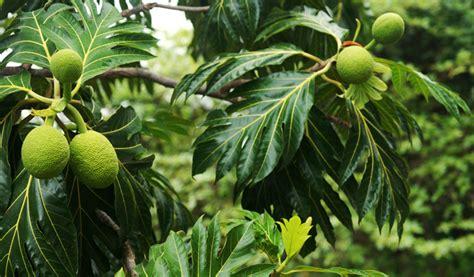 bread tree poem the breadfruit tree