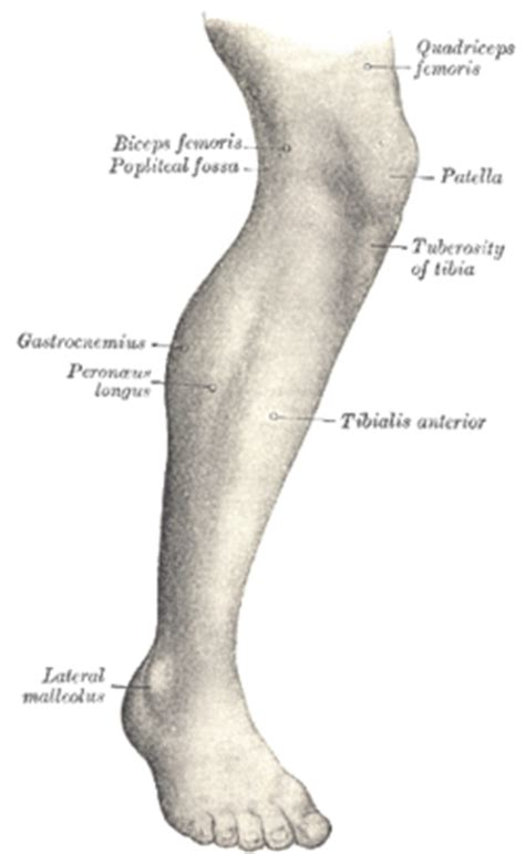The Leg L by Tuberosity Of The Tibia