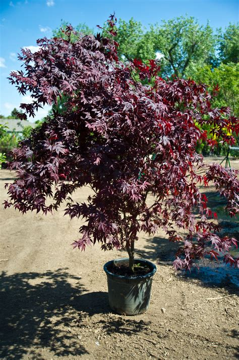maple tree buy maple bloodgood japanese for sale in boulder colorado
