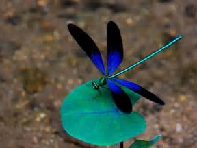 dragonfly colors best 25 blue dragonfly ideas on damselflies