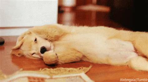sleepy puppy gif goldenretriever puppy gif goldenretriever puppy sleep discover gifs