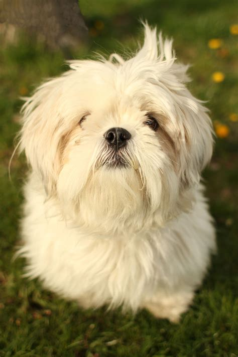 what is a shih tzu pictures of shih tzu yorkie mix dogs breeds picture