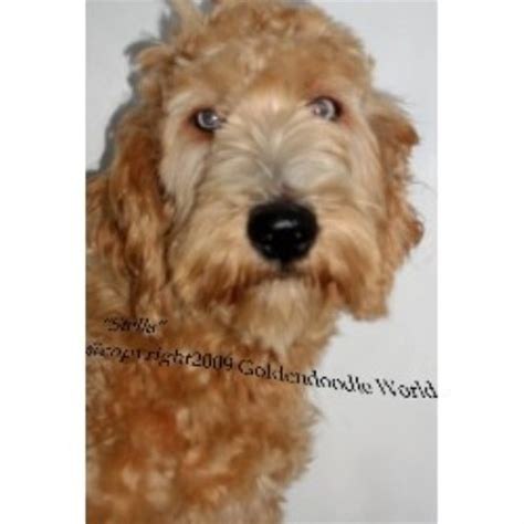 goldendoodle puppies nc rescue goldendoodle breeders in carolina freedoglistings