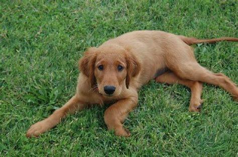 golden setter puppies photos akc golden retriever and setter puppies