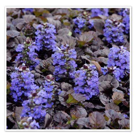 piante tappezzanti perenni fiorite piante tappezzanti perenni sempreverdi interesting with