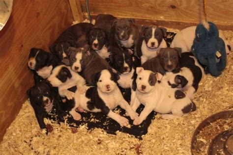 gotti puppies bully style gotti line pups steelhead bullies