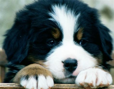 mountain puppies bernese mountain breed guide learn about the bernese mountain