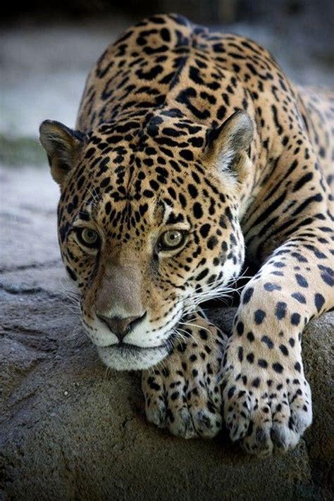 imagenes jaguar you dragons picmia