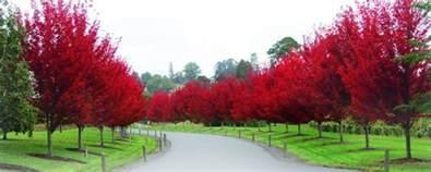 ornamental trees fleming s