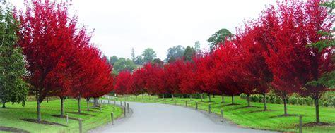 decorative trees ornamental trees fleming s
