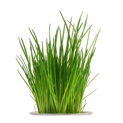 erba cipollina in vaso erba cipollina piante passione produzione piantine da