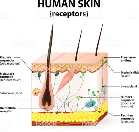 vector clipart of human skin anatomy vector illustration of diagram of human csp18463205 human skin layer vector cross section stock vector more images of anatomy 520713712 istock
