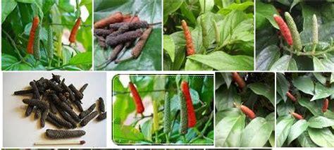 Minyak Atsiri Lada kenali khasiat dan manfaat lada panjang tanaman