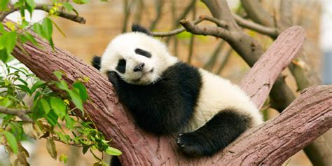 Boneka Panda Panda Hitam Putih Gigit Bambu ekspresi hewan panda ini ngegemesin banget pengen bawa