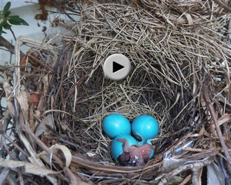 how to hatch bird eggs witnessed the birth of a bird 40 days to forty