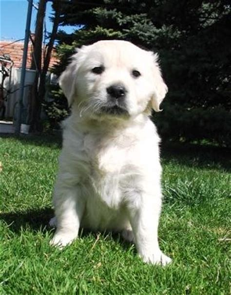 white golden retriever puppies for sale southern california golden retriever white golden retriever