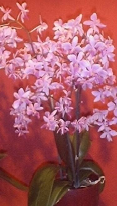 linguaggio dei fiori orchidea orchidea linguaggio dei fiori orchidea linguaggio