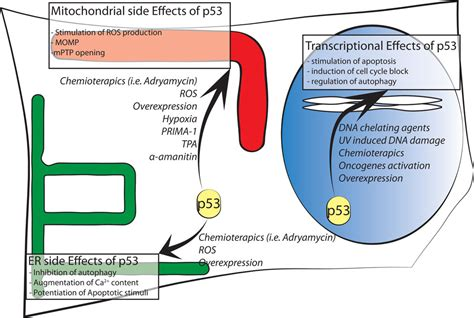 r protein mutants frontiers alterations in mitochondrial and endoplasmic