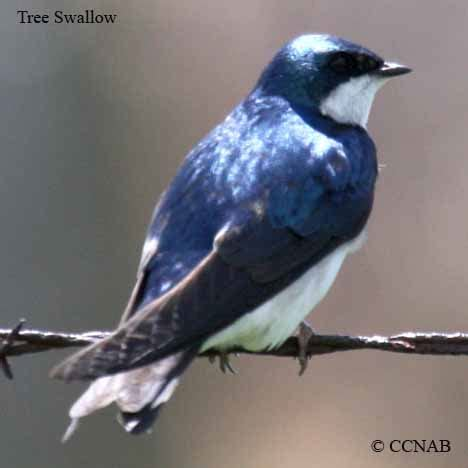 tree swallow birds of cuba cuban birds