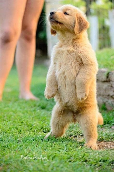why are some golden retrievers grizzly bears bears and puppys on