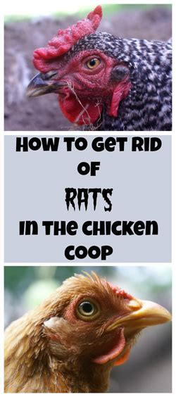 how to get rid of rats in the chicken coop the definitive