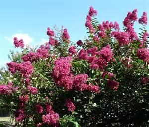 summer flowering trees louisiana blooms
