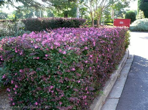 aggregata plants gardens hedging plant loropetalum chinense china pink in flower