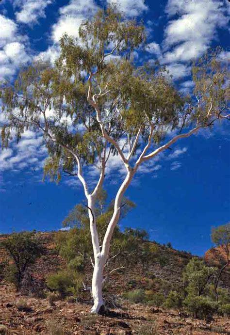 Eucalyptus Trees Ghost Gum Waltzing Australia