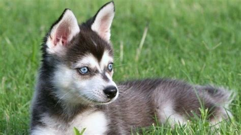 Alaskan Klee Shed by 9 Dogs That Look Like Huskies Barking Royalty
