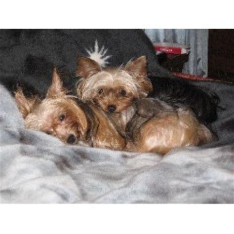 free puppies in va terrier yorkie breeders in virginia freedoglistings