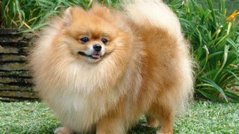 chien pomeranian 1000 id 233 es sur le th 232 me spitz pomeranian sur spitz japonais chien