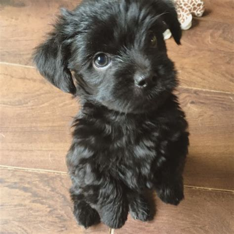 havanese cross breeds gorgeous havanese terrier cross puppies for sale grays essex pets4homes