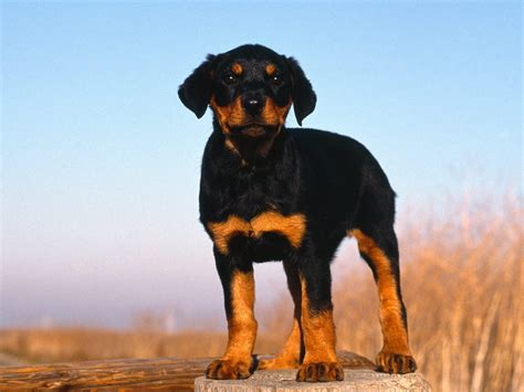 picture rottweiler pin rottweiler puppy picture on