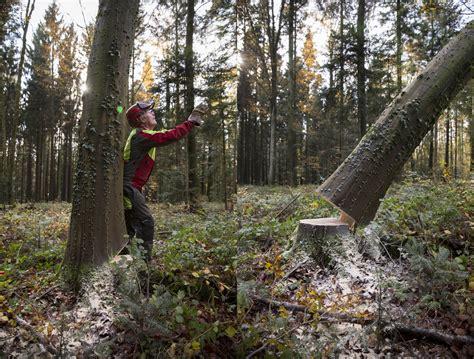 bäume fällen wann erlaubt baum richtig f 228 llen baum richtig f llen anleitung und