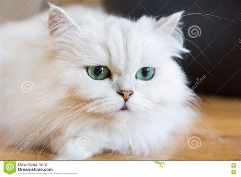 gatti persiani bianchi gatti persiani bianchi immagine stock immagine di colpo