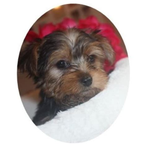 yorkie puppies for sale in kansas all puppies and dogs for sale and adoption in kansas freedoglistings