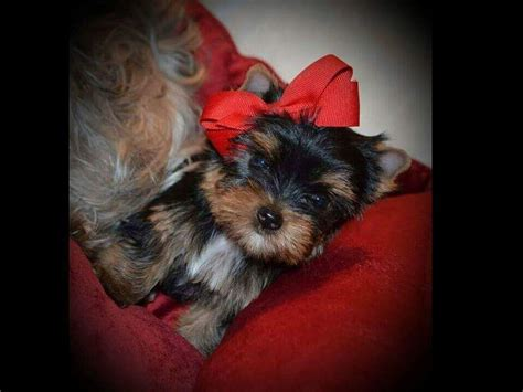 smoky mountain yorkies smoky mountain yorkies terrier puppies for sale