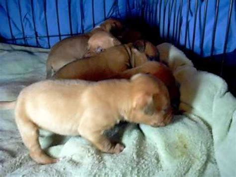 redboy jocko puppies for sale redboy jocko pit bull puppies for sale