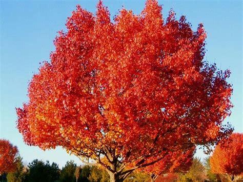trees new jersey oak tree new jersey trees oak tree
