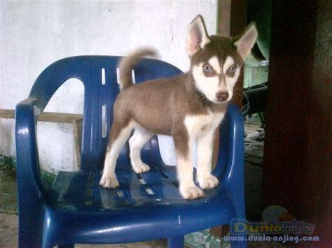 Jual Masker Mata Bandung dunia anjing jual anjing siberian husky jl husky masker trisula mata biru jantan