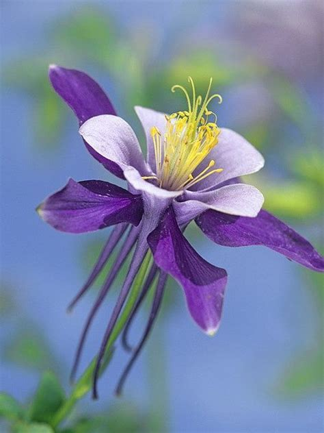 colorado blue columbine flowers pinterest