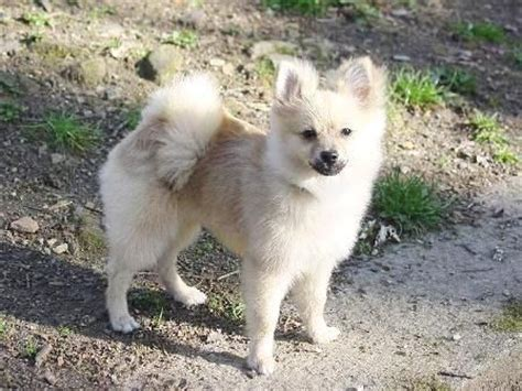 pomeranian mixed breeds pomeranian spitz mix breed mixed breeds