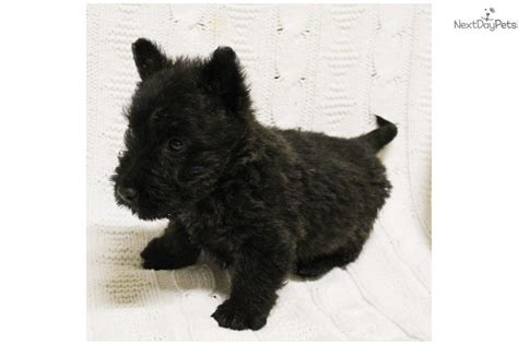 akc puppies for sale near sioux city south dakota akc marketplace scottish terrier puppy for sale near sioux city iowa 1162f7ab 2611