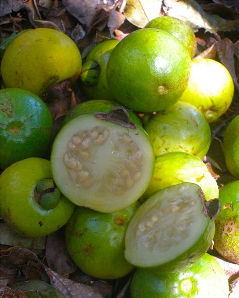 a fruit is most commonly the curing power of the costa fruit cas the costa