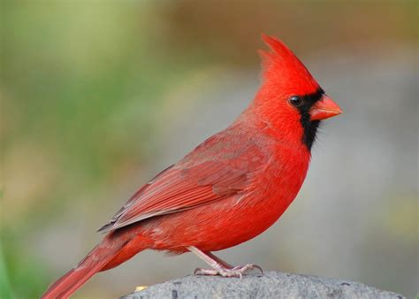 state bird of north carolina songbirds north carolina s state bird how to identify the