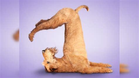 imagenes de perro haciendo yoga perritos y gatitos haciendo yoga rt